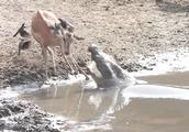 羚羊在水边喝水,鳄鱼突然从水下窜出,羚羊360度后空翻成功躲避