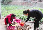 农村妯娌旧物利用,拿俩旧盒子种大蒜,大嫂种哩好吃弟媳栽哩好看