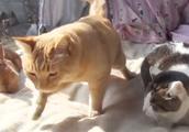 猫咪看着兔子的样子,学着兔子晒太阳,镜头记录下全过程