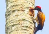 啄木鸟啄木速度每秒15下,每天啄木12000多次,却没得脑震荡!