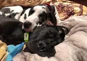 两只大丹犬感情真好,睡个觉也要腻歪在一起