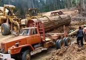 为了从深山运出这棵价值不菲的红木,人力物力花费不少