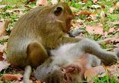可怜的大力水手和蒂玛猴子,一起照顾公猴
