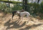 两条正在打闹的惠比特犬,这种狗狗奔跑速度非常快