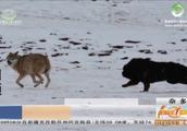 玉树杂多上演藏獒战野狼,生物学角度藏獒真可以对野狼造成威胁?
