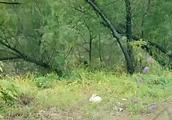 猪八戒抓住小白兔就要吃掉,唐僧心里想吃,但是嘴硬不肯承认