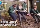 4人一组同老虎狮子拔河!英国一动物园另类体验惹争议