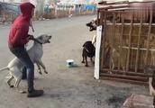杜宾看到狗子就想打架,主人差点就拉不住,这狗太不安全了!