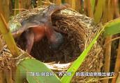 小鸟以为妈妈回来喂食,却不想是悲剧的开始,镜头记录全过程!
