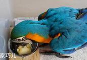 63天大的金刚鹦鹉,给块香蕉学吃,就快断奶啦!