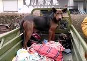 狗市上拍到红狼犬和惠比特犬,两条狗狗气质高雅和主人挺亲近