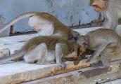 一群猴子吃冰块,其乐融融,非常的惬意