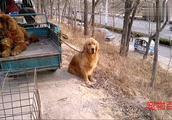 男士的藏獒和金毛让人羡慕不已,一看就是大老板的狗,价格昂贵