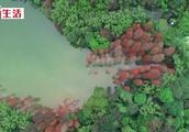 白云山上黄婆洞水库的水杉红了