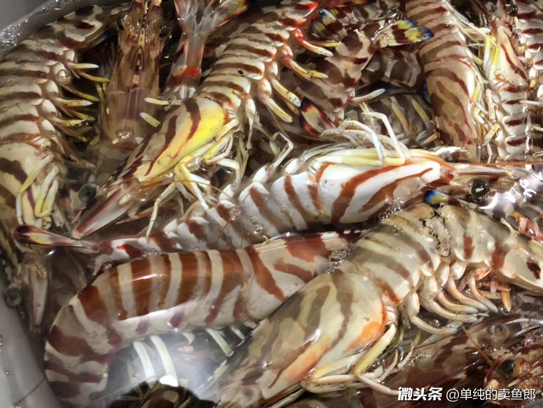 野生大斑节虾,身上的节气正义凛然,在众多 - 今