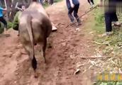 拼尽全力的这头牛王,经过几经周折把黄牛斗得落荒而逃!