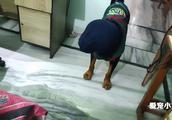 狗狗用袋子蒙住了罗威纳犬的头,结果会怎么养呢?