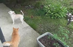 天气晴朗猫咪跟狗狗到后院散步,吉娃娃最跳脱