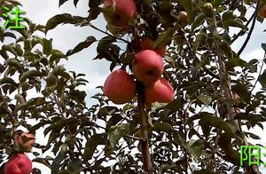 寒富苹果采收了,大灾之年收成如何,请来这里看