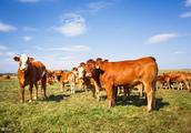 活牛收购价多少钱一斤?2018全国最新活牛价格和行情信息汇总