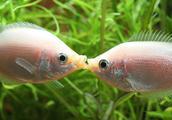 物种百科:接吻鱼
