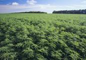 什么是工业大麻?为什么会被炒上天?