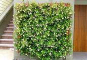 夏天适当修剪过度暴晒的枝叶,风车茉莉能花开满枝