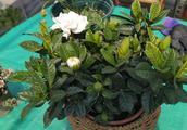 新买的栀子花,满是花苞,按