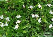 """农村一种野草花开像""""莲花"""",它好看还是好药材,如今很稀罕!"""