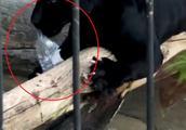 黑豹抓伤跨栏自拍女 动物园允诺免安乐死