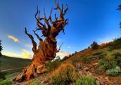 地球上最大的生命体,已经存活了8万年,重达590万公斤