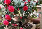 学学老师傅,教你养茶花,红花开爆盆,叶子墨绿花期长达两个月