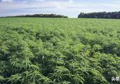 """关于""""工业大麻""""你要知道这些!"""