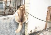 吴宝宝的哈士奇又越狱了 这次直接在楼顶爬过邻居家
